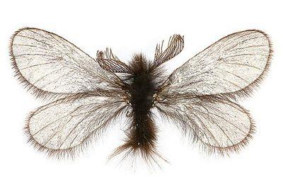 Ptilocephala-plumifera-Meshochnica-chernovataya-(Meshochnica-pushistaya).jpg