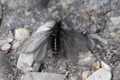 Ptilocephala-plumifera-Meshochnica-chernovataya-(Meshochnica-pushistaya)1.jpg