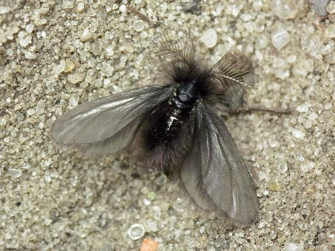 Ptilocephala-plumifera-Meshochnica-chernovataya