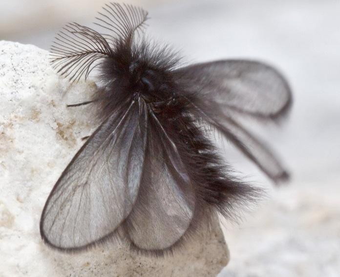 Ptilocephala-plumifera-Meshochnica-chernovataya1.jpg