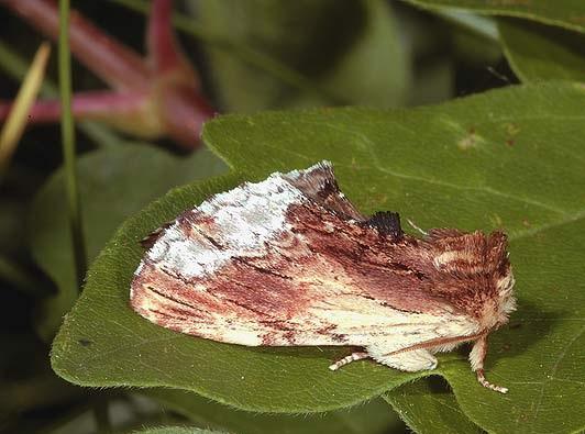 Ptilodontella_cucullina2.JPG
