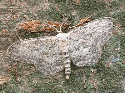 Pyadenica-Malaya-shelkovistaya
