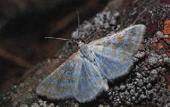 Pyadenica-Malaya-shelkovistaya1.jpg