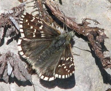 Pyrgus-andromedae-Tolstogolovka-alpiiskaya1.jpg