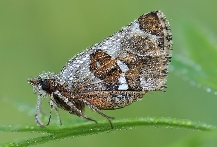 Pyrgus-maculatus-Tolstogolovka-pyatnictaya