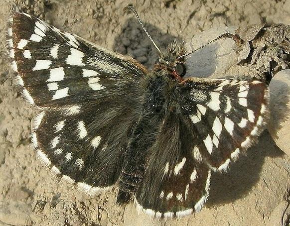 Pyrgus-maculatus-Tolstogolovka-pyatnictaya1.jpg