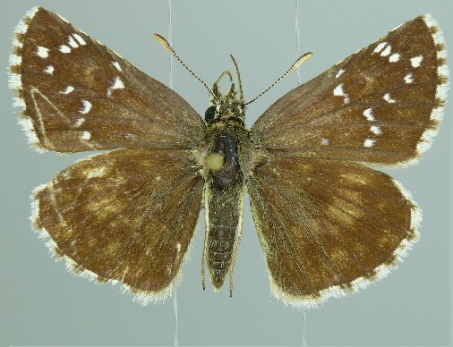 Pyrgus-schansiensis-Tolstogolovka-kitaiskaya