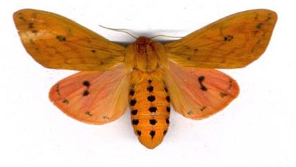 Pyrrharctia-isabella1.jpg