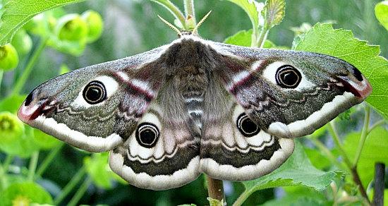 Saturnia-pavonia-Pavlinoglazka-malaya