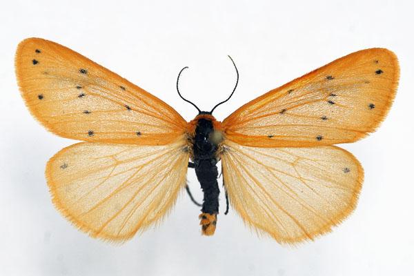 Setina-irrorella-Lishainica-molevidnaya-zheltaya.jpg