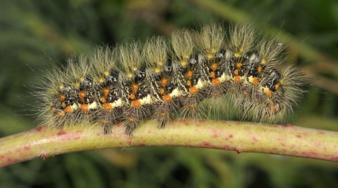 Simyra-nervosa-Sovka-ostrokrylaia-seraia