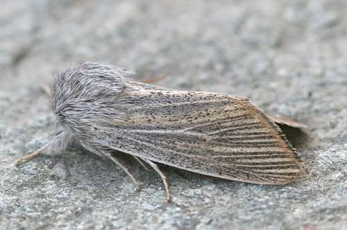 Simyra-nervosa-Sovka-ostrokrylaia-seraia1.jpg