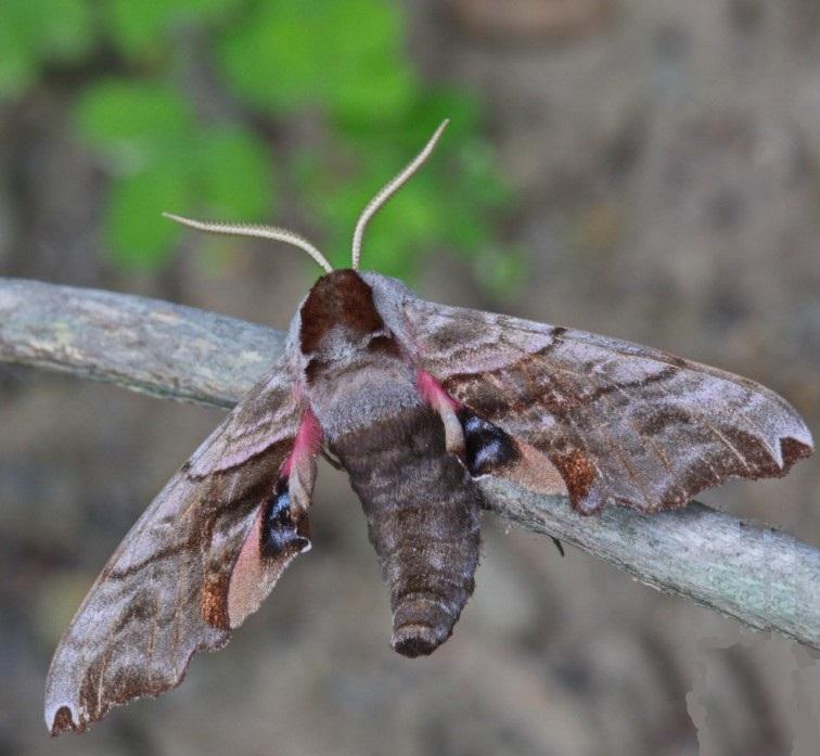 Smerinthus-caecus-Brazhnik-slepoi2.jpg