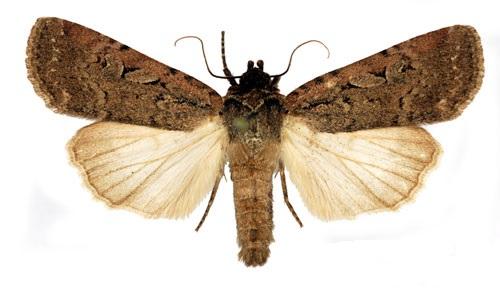 Spaelotis-ravida-Sovka-Zemlyanaya-temnaya