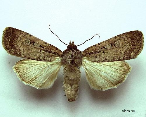 Spaelotis-ravida-Sovka-Zemlyanaya-temnaya1.jpg