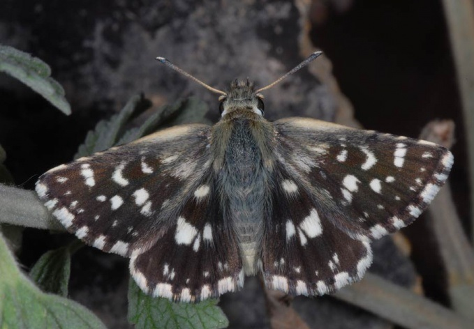 Spialia-phlomidis-Herrich-1845-Tolstogolovka-shlemnica