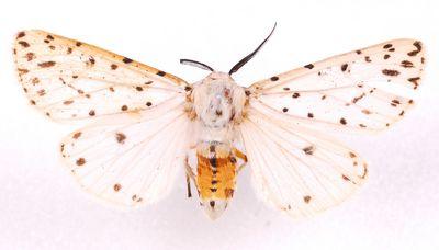 Spilosoma-lubricipeda-Medvedica-krapchataya-ili-myatnaya1.jpg
