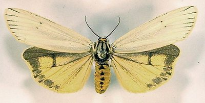 Spiris-striata-Medvedica-polosataya1.jpg