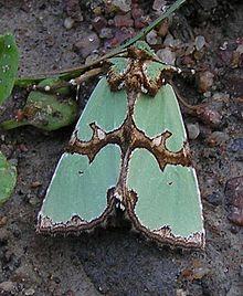 Staurophora-celsia-Sovka-roskoshnaia