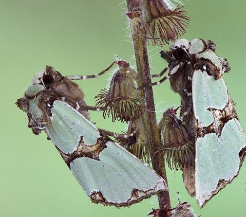 Staurophora-celsia-Sovka-roskoshnaia1.jpg