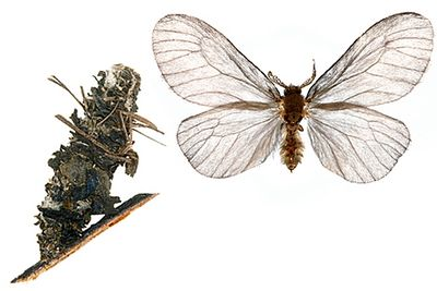 Sterrhopterix-fusca-Meshochnica-volosistaya.jpg
