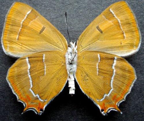 Thecla-betulina-Staudinger-1887-Zefir-Yablonevyi