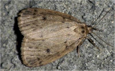 Thumatha-senex-Tumata-pozdnyaya-ili-Lishainica-pechenochnica1.jpg