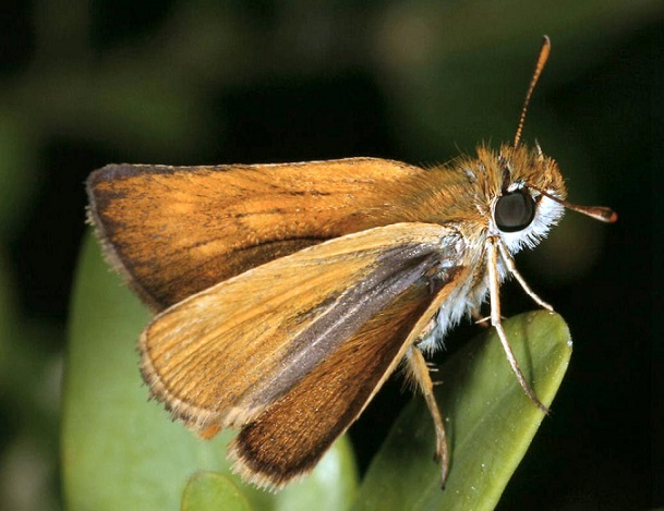 Thymelicus-acteon-Tolstogolovka-Akteon1.jpg