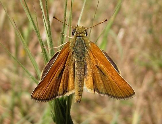 Thymelicus-hyrax-Tolstogolovka-irakskaya