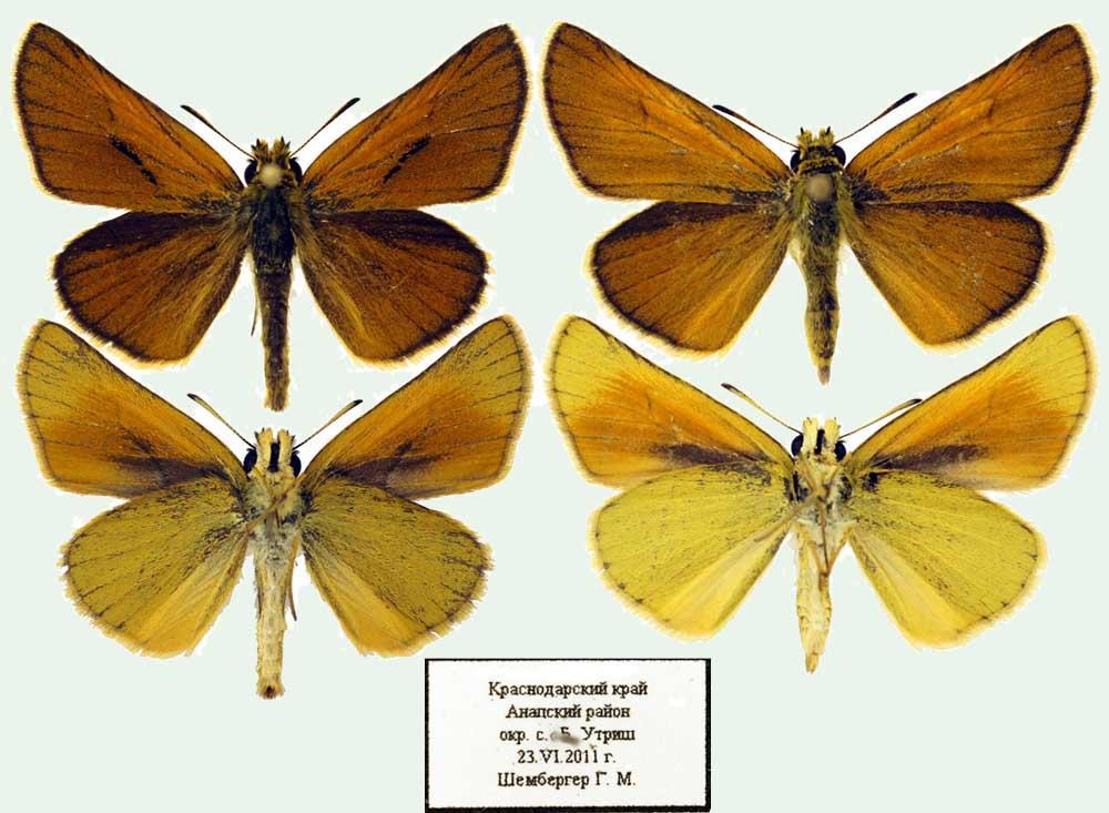 Thymelicus-hyrax-Tolstogolovka-irakskaya1.jpg