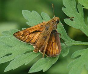 Thymelicus-venatus-Bremer-Grey-1853-Tolstogolovka-primorskaya