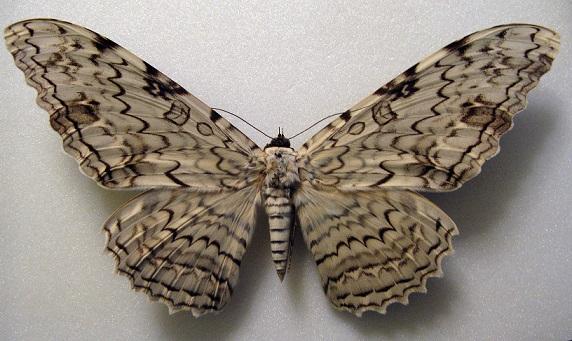 Thysania-agrippina-IUzhnoamerikanskaia-tropicheskaia-sovka