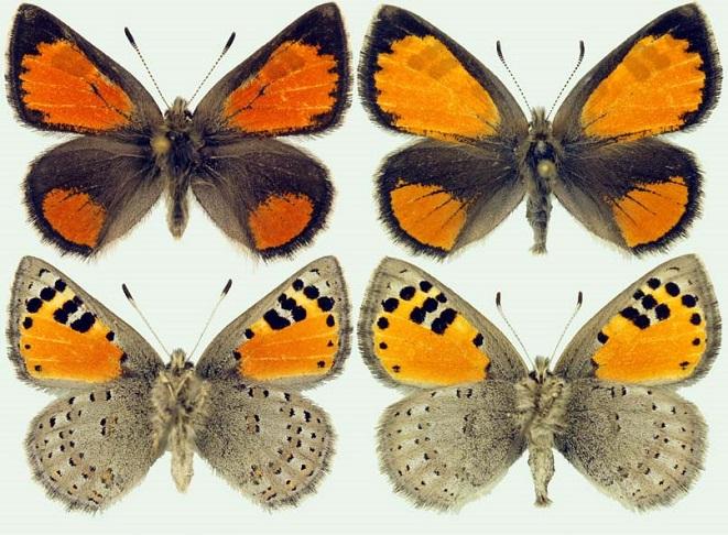Tomares-callimachus-Eversmann-1848-Tomares-kallimah