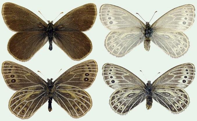 Triphysa-phryne-Pallas-1771-Trifiza-Frina