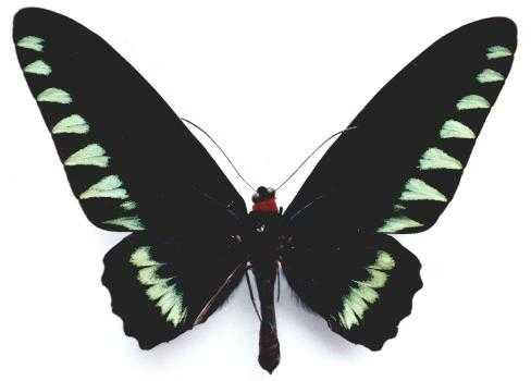 Trogonoptera_trojana3.JPG