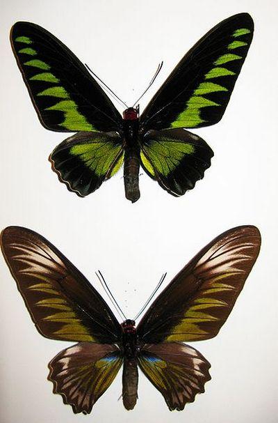 Trogonopterabrookiana-Trogonoptera_Bruka.jpg