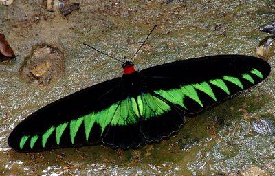 Trogonopterabrookiana-Trogonoptera_Bruka1.jpg
