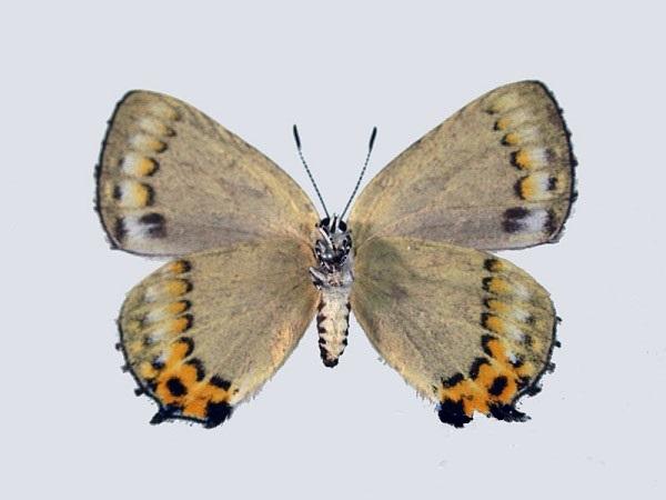 Ussuriana-stygiana-Butler-1881-Zefir-stigiana