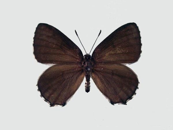 Ussuriana-stygiana-Butler-1881-Zefir-stigiana1.jpg