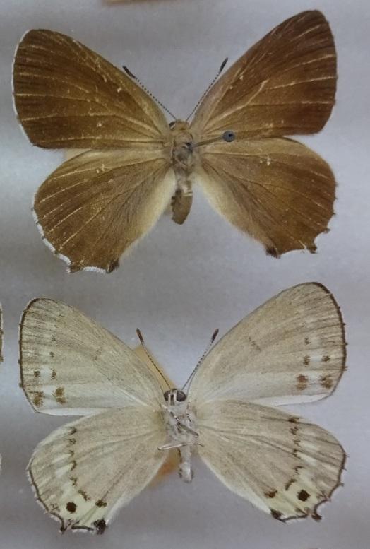Ussuriana-stygiana-Butler-1881-Zefir-stigiana2.jpg