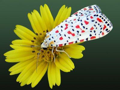 Utetheisa-pulchella-Medvedica-krasnotochechnaya.jpg