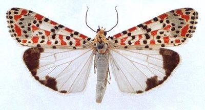 Utetheisa-pulchella-Medvedica-krasnotochechnaya1.jpg