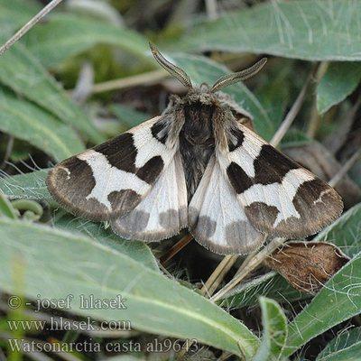 Watsonarctia-deserta-(casta)-Medvedica-chistaya.jpg