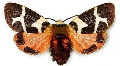 Watsonarctia-deserta-(casta)-Medvedica-chistaya1.jpg