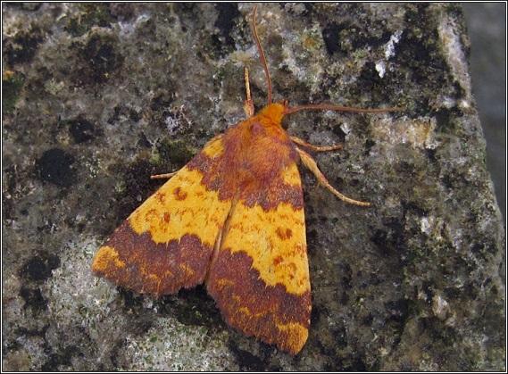 Xanthia-aurago-Sovka-temno-zolotistaia1.jpg