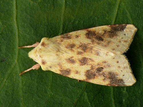Xanthia-icteritia-Kapiushonnitca-zheltushnaia1.jpg