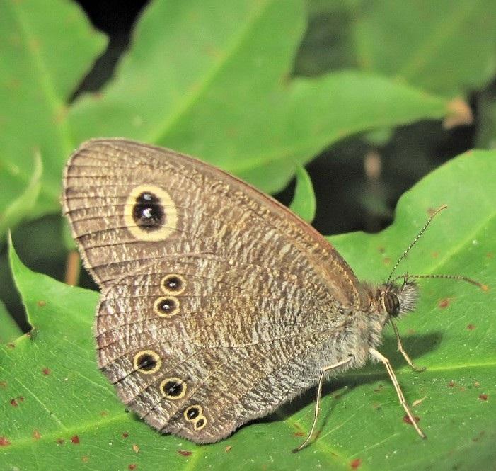 Ypthima-argus-Butler-1866-Y-baldus-Fabricius-1775-Barhatnica-argus