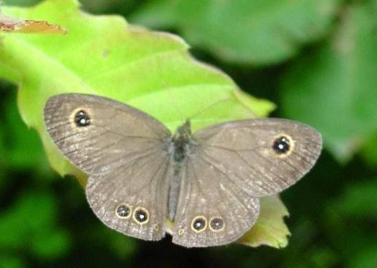 Ypthima-argus-Butler-1866-Y-baldus-Fabricius-1775-Barhatnica-argus1.jpg