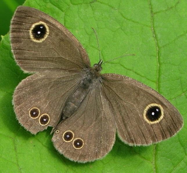 Ypthima-argus-Butler-1866-Y-baldus-Fabricius-1775-Barhatnica-argus2.jpg