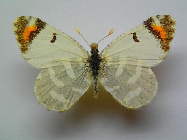 Zegris-pyrothoe-Eversmann-1832-Zorka-Plamennaya1.jpg